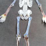 Skelette_Biologie_10