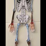 Skelette_Biologie_4