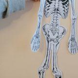 Skelette_Biologie_7